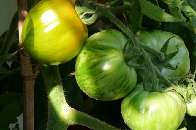 Green Zebra, grüne Tomate