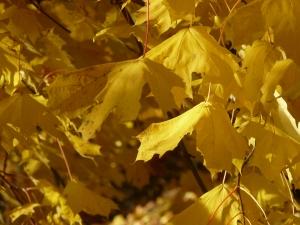 Ahornblätter gelb
