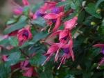 Fuchsie lila