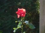 Rose Pergula2