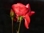 Rose Pergula