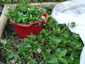 Spinat im Beet und roter Korb