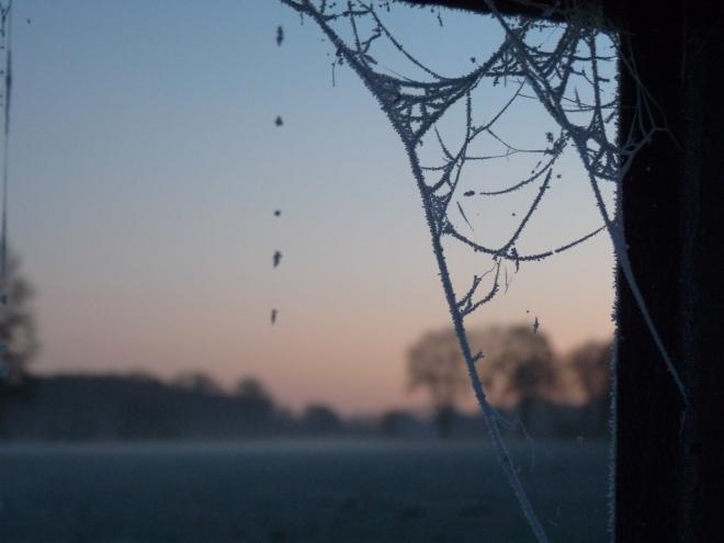 Spinnenwebe gereift
