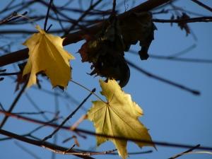 Ahornblätter gegen Himmel