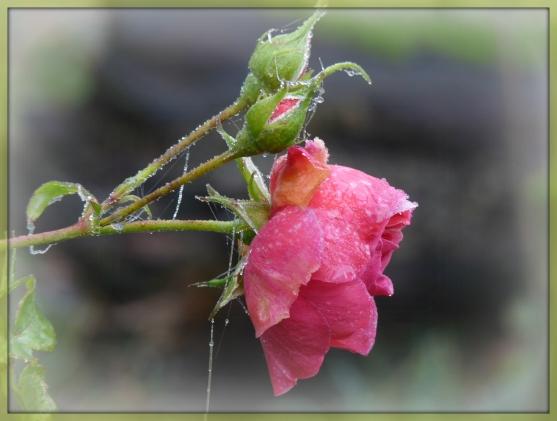 Rosequer
