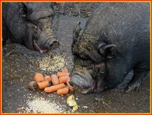 schweinefressen