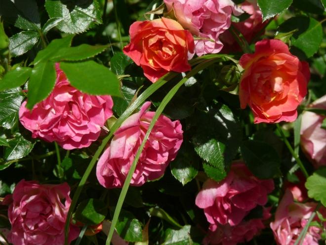 Cambridgeshire Rose