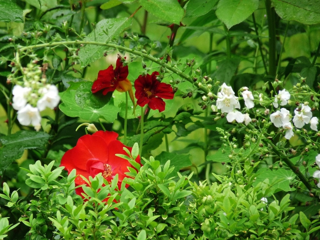 Rosekapkerze