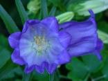 Blume des Jahres 2013