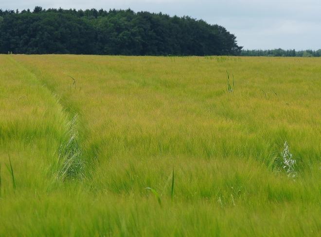 Grünes Getreide-Meer