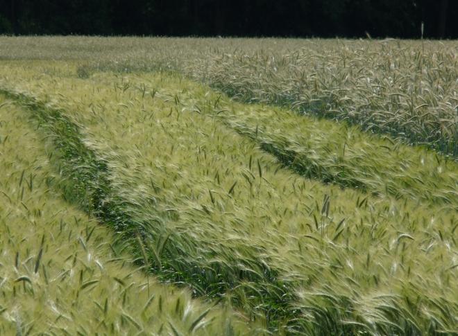 Ackerspuren im Korn