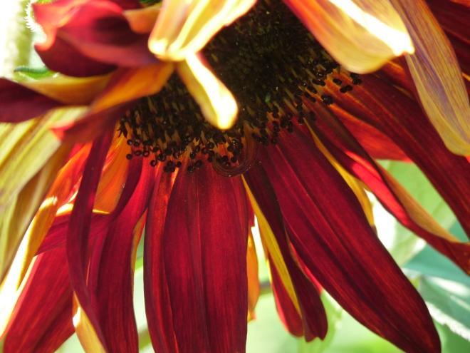 rote Sonnenblume von unten