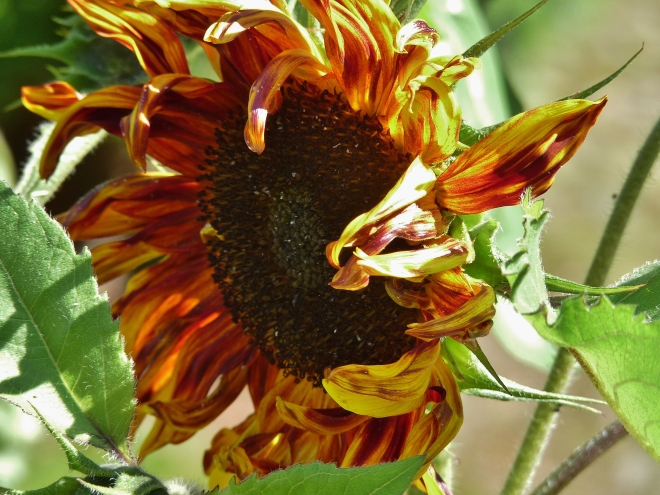 gestreift Sonnenblume