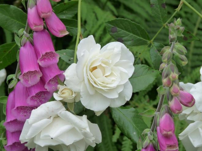 Rose und Fingerhut