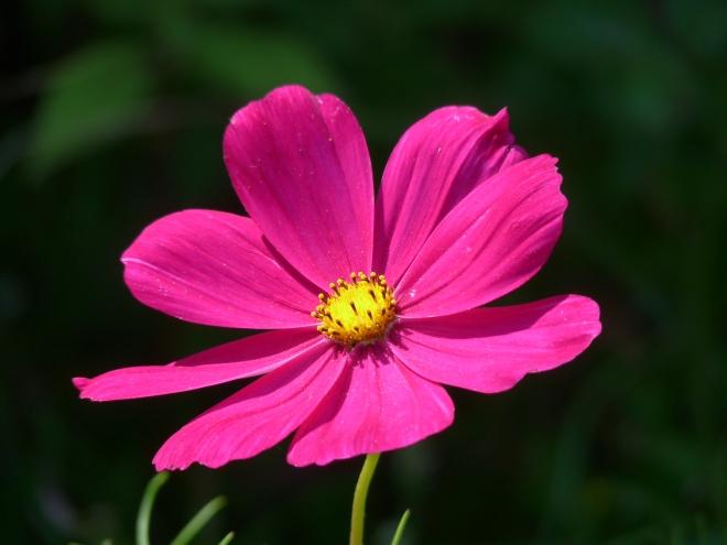 Pink Cosmea