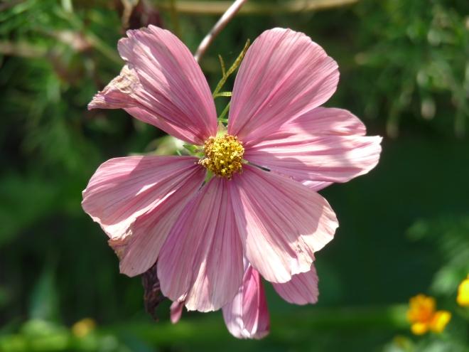 Pink verblüht