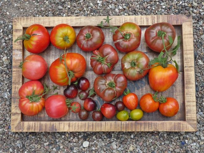 Tomaten auf Tablett