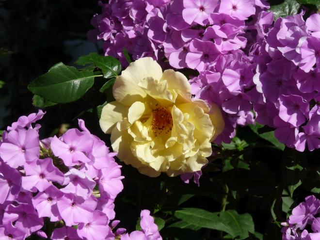 Phlox und Rose