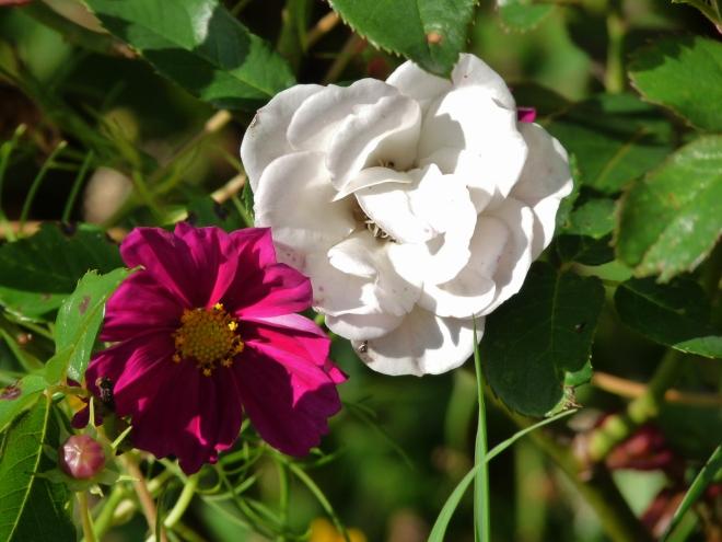 Cosmea u. Rose