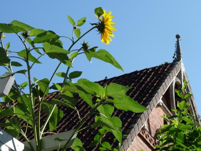 Sonnenblume vor Haus
