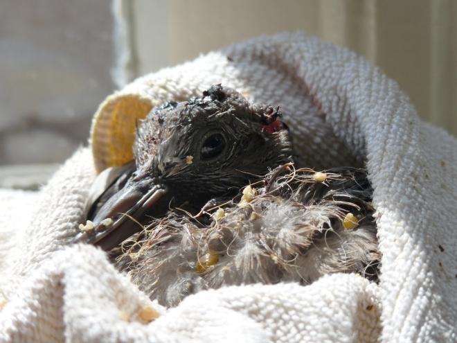 Taube nach der Fütterung