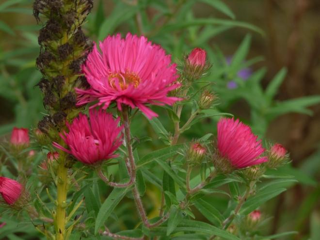 Rauhblattaster pink