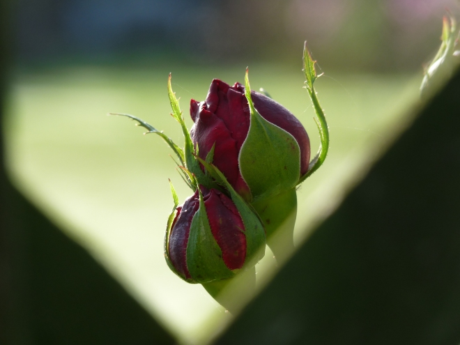 Rose Falstaff