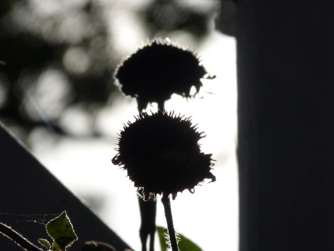 Sonnenblume grau