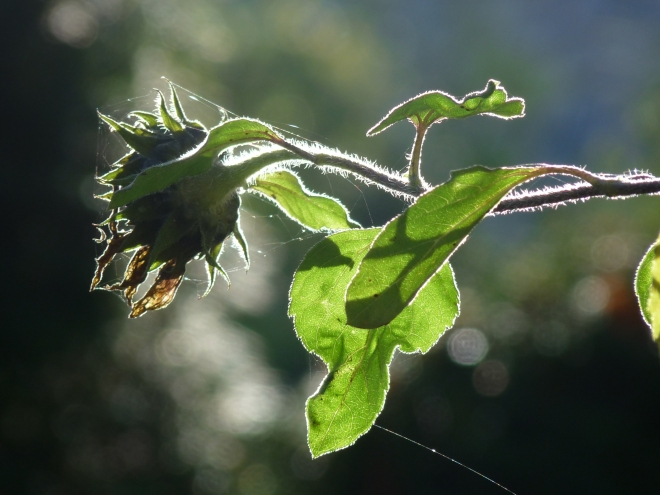 grüne Sonnenblume