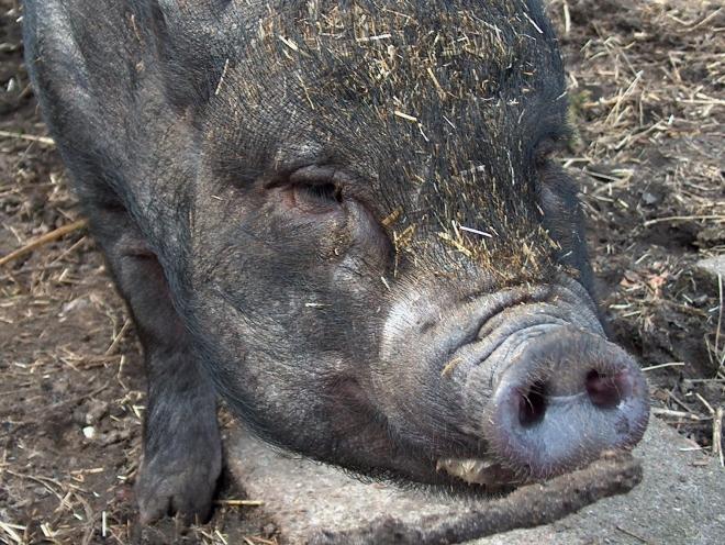 Schwein dicht