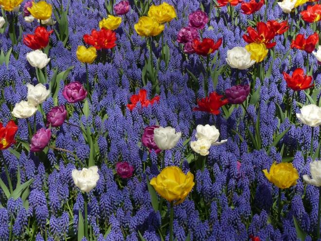 Traubenhyazinthen undeinzelne  Tulpen