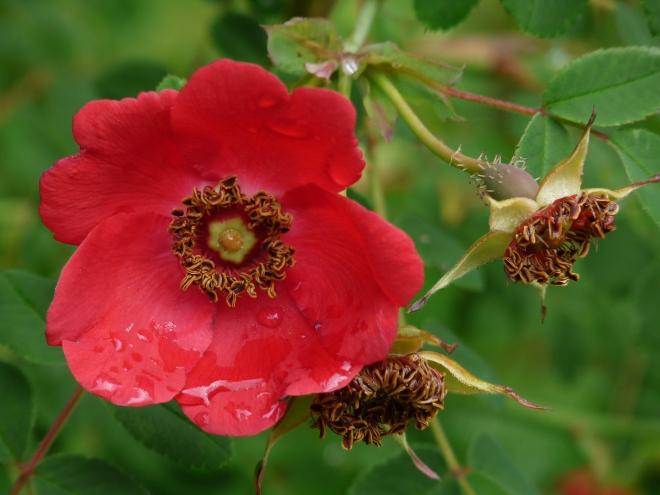 Rosa Geranium