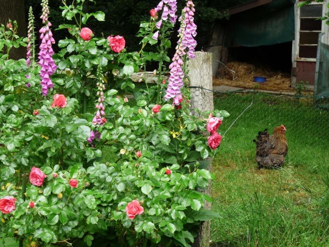 Rosen vor Hühnergehege
