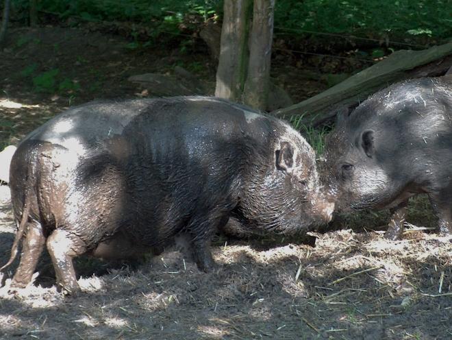 2 Hängebauchschweine
