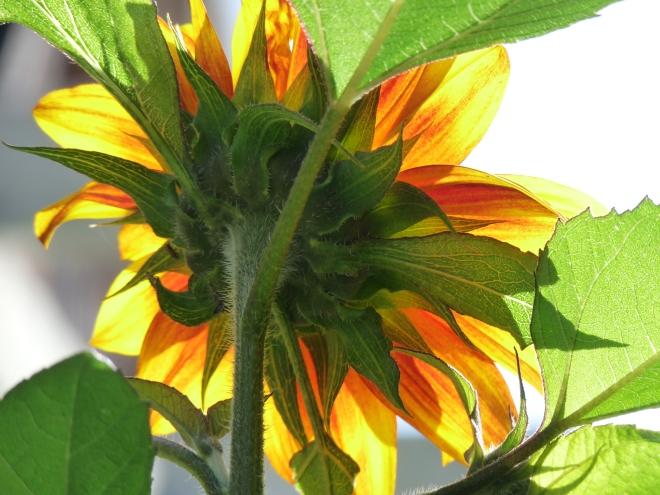Sonnenblume dicht von hinten