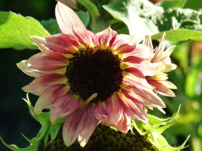 Sonnenblumn pink