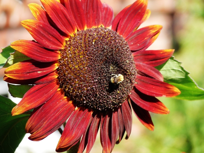 Rote Sonnenblume mit Biene