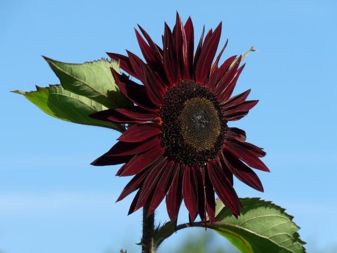 dunkelrote Sonnenblume