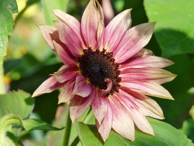 Pink Sonnenblume