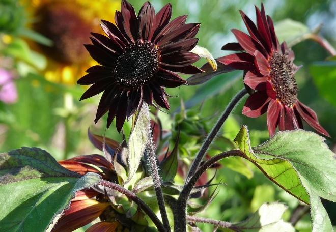 mehrere dunkle Sonnenblumen