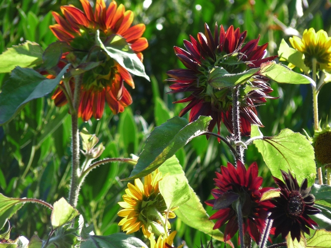 Bunte Sonnenblumen von hinten