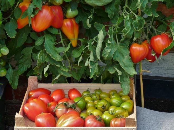 Tomatenkiste vor Pflanzen