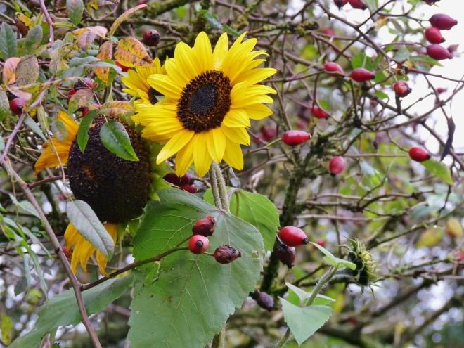 Sonnenblume, hagebutten