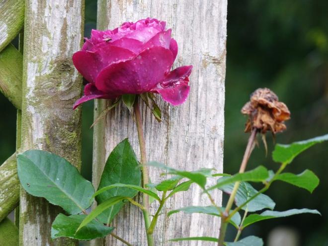 Rose Küchengarten