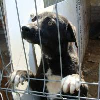 Rumänische Straßenhunde - Vermittlung