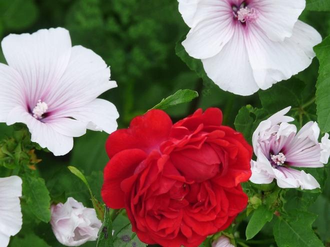Rose und Malve