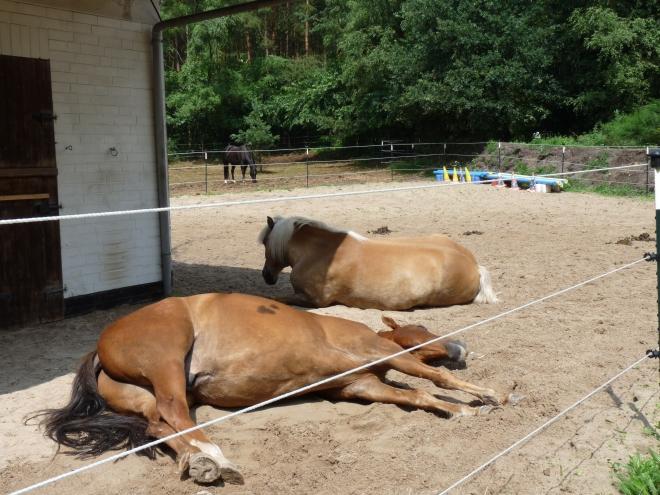 Pferde schlafen